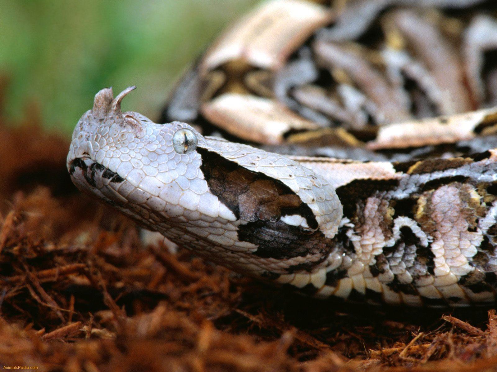 Boa Snake Buddies