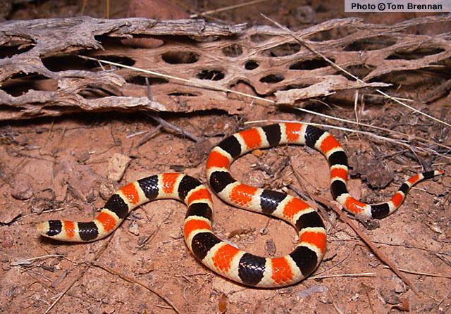 Sonoran Shovel-nosed Snake