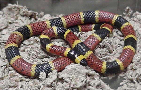 Texas Coral Snake (Micrurus tener)