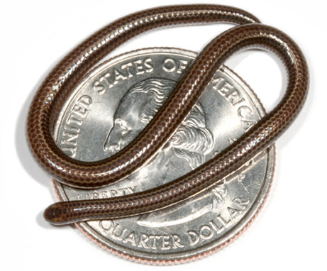 Thread snake - smallest snake in the world