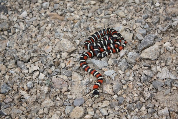 Utah Mountain Kingsnake