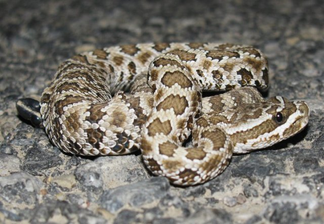 Great Basin Rattlesnake baby