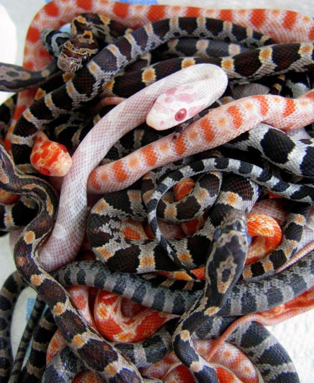 corn snake morphs chart