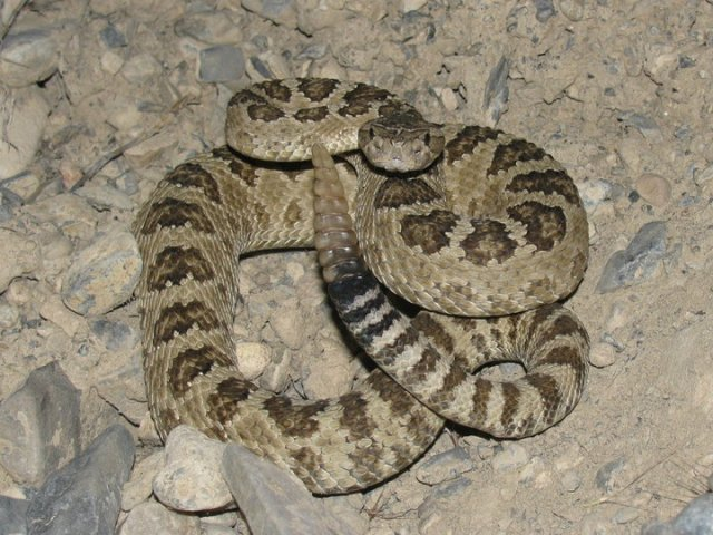 Brown Great Basin Rattlesnake (Crotalus oreganus lutosus)