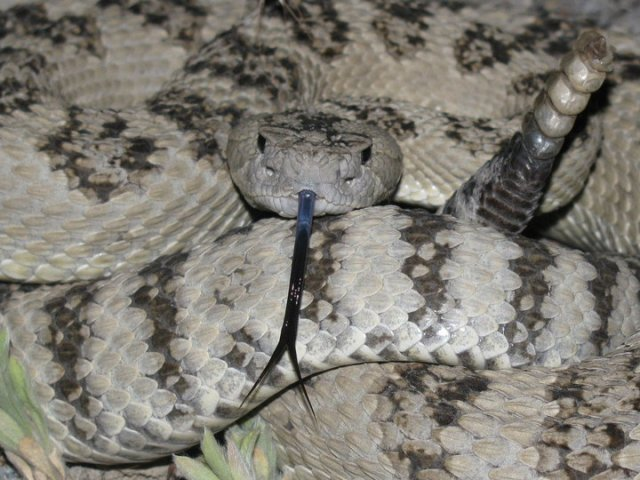 Gray Great Basin Rattlesnake (Crotalus oreganus lutosus)