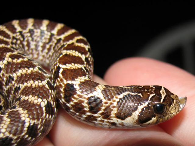 I want to get a snake..how do i convince my mom?