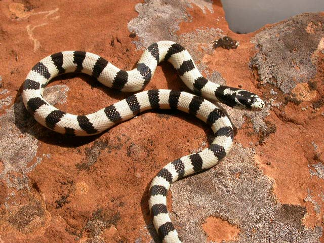 Common California King Snake