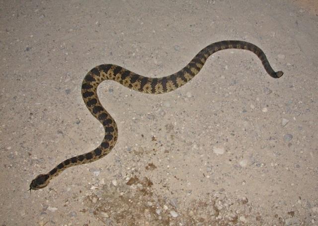 Abberant Great Basin Rattlesnake (Crotalus oreganus lutosus)