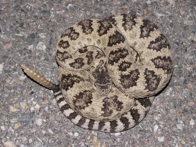 Great Basin Rattlesnake (Crotalus oreganus lutosus)