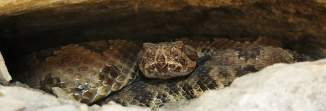 Great Basin Rattlesnake Female (Crotalus oreganus lutosus)