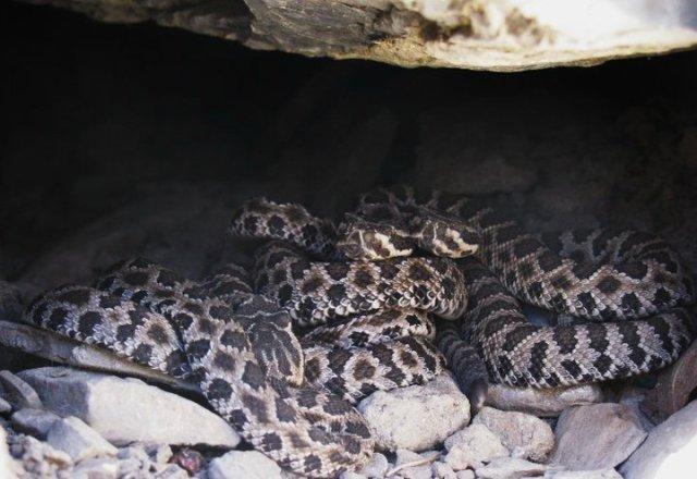 Great Basin Rattlesnake babies (Crotalus oreganus lutosus)