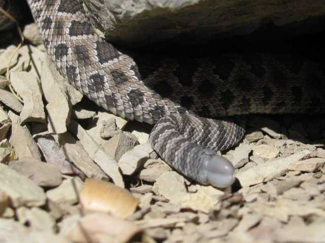 First button of newborn rattlesnake (crotalus oreganus lutosus)
