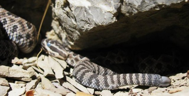 Baby rattlesnake in the blue