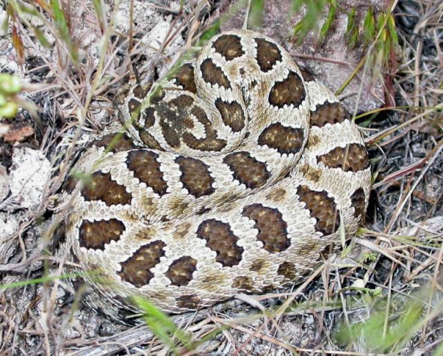 Juvenile Great Basin Rattlesnake (Crotalus oreganus lutosus)