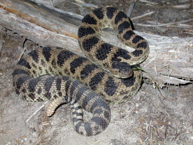 Dark Great Basin Rattlesnake (Crotalus oreganus lutosus)
