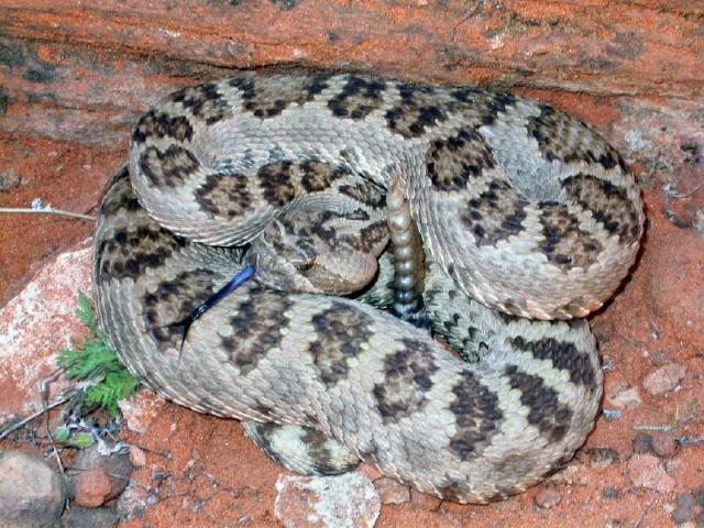 odd Great Basin Rattlesnake (Crotalus oreganus lutosus)
