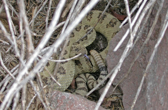 light green Great Basin Rattlesnake (Crotalus oreganus lutosus)