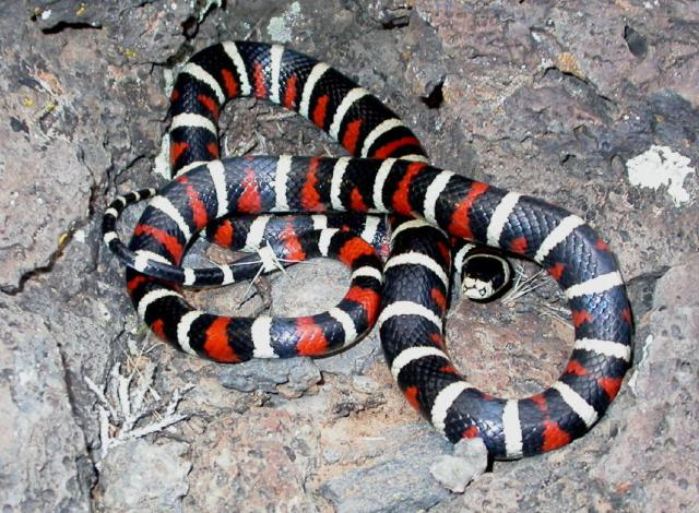 Mountain Kingsnake (Lampropeltis pyromelena)