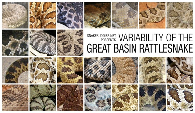 Variability of the Great Basin Rattlesnake