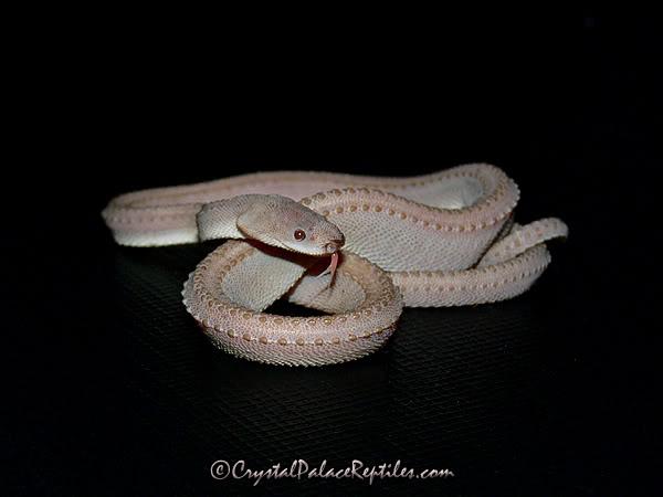 Dragon Snake? | Snake Buddies  Tubercle Snake