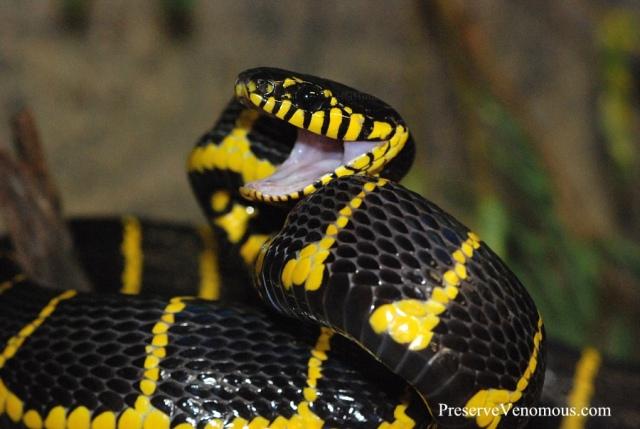 Mangrove Snake  -  Boiga dendrophilia