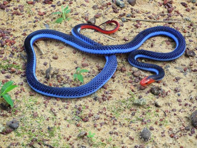 Malaysian Blue Coral Snake  -  Maticora bivirgata