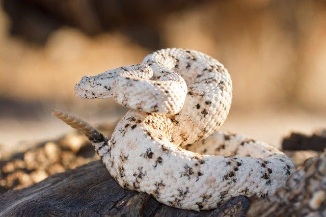 White Speckled Rattlesnake