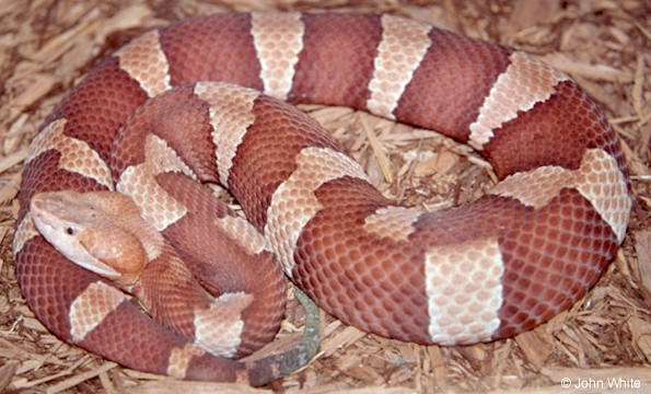 Photo by John White Broad-Banded Copperhead from Texas