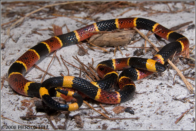 Photo by Pierson Hill Eastern Coral Snake