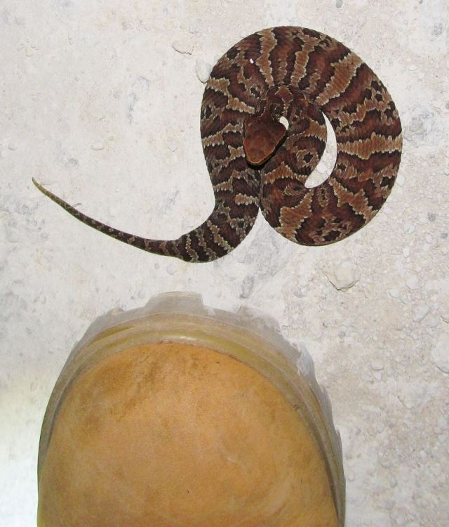 Coral Snake Mouth: Is This Snake Venomous? What To Look For When Dealing With