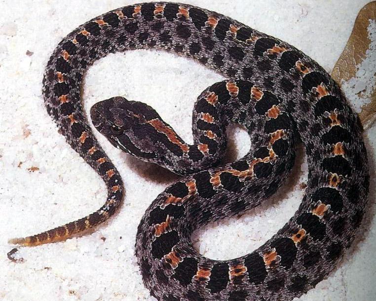 How to Identify a Venomous Snake forecast