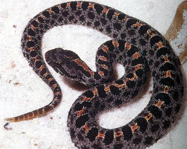 Dusky Pygmy Rattlesnake - Sistrurus miliarius