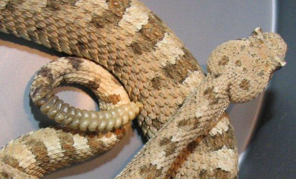 Photo by Jamison Hensley Sidewinder Rattlesnake - Crotalus cerastes