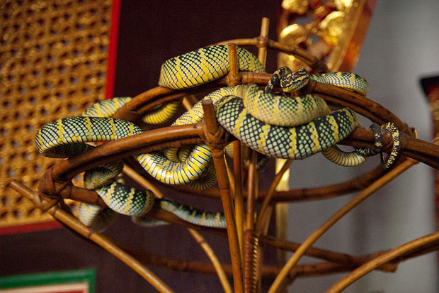Wagler's Vipers making themselves at home, within Snake Temple
