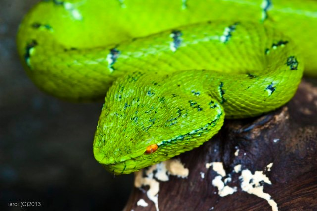 Triangular head of the Wagler's Viper