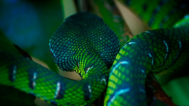 Photo Credit - Jenningspony78 A very blue-ish example of a Temple Viper