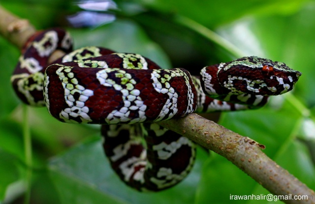 Braod-banded Temple Viper