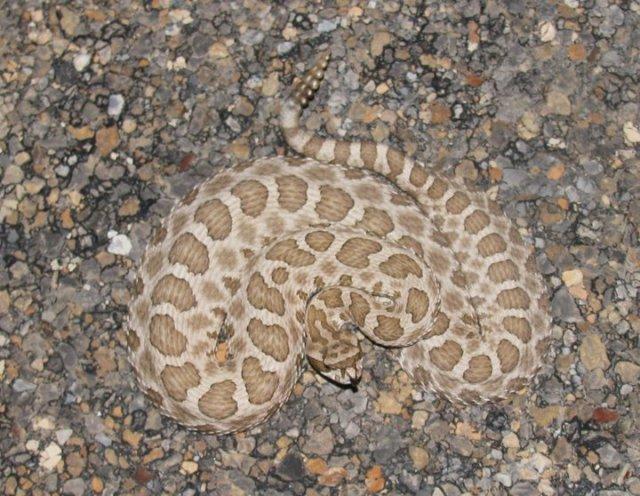 Photo by Jamison Hensley Western Massasauga Rattlesnake - Sistrurus catenatus