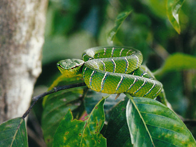 Adult Wagler's Viper