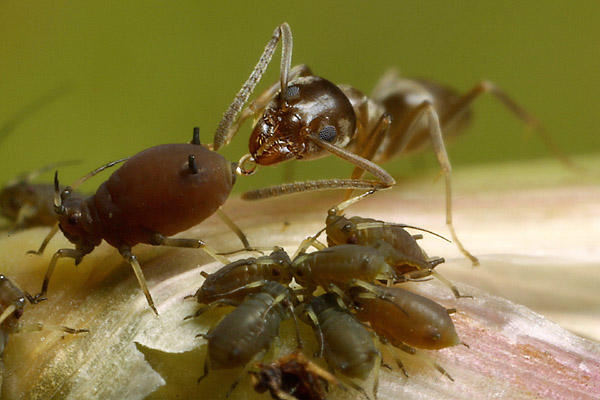 Aphid and Ant Symbiosis