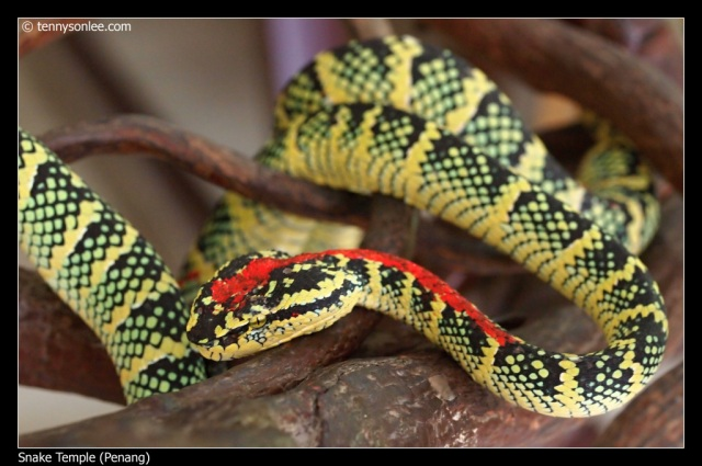 Temple Viper marked with paint.
