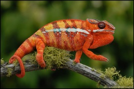 "Panther Chameleon by Paul Bratescu ""AnimalExplorer"""