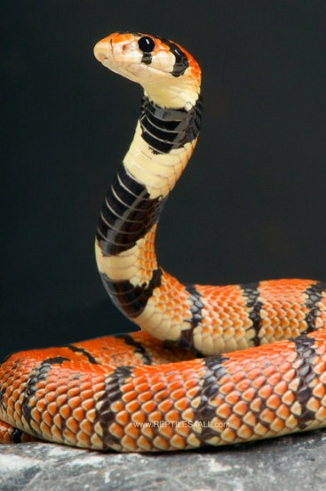 Cape Coral Snake by Reptiles4all.com
