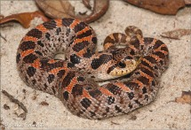Southern Hognose by Jake M. Scott