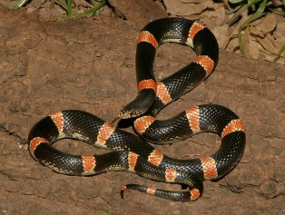 Mexican Long-nosed Snake by Cowyeow