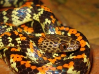 Checkerbelly (Siphlophis cervinus) by Renato Gaiga
