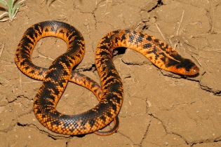 Collett's Snake by Gary Stephenson