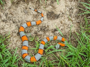"Gray Banded Kingsnake by John ""Snakecollector"""