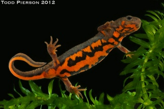 Fire-bellied Newt by Todd Pierson