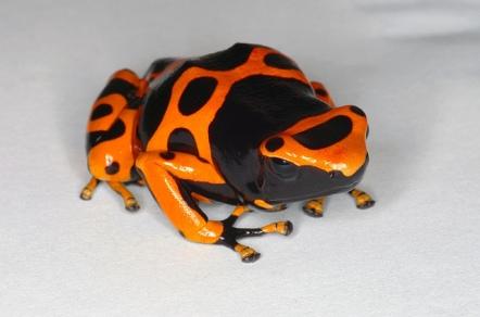 Bubblebee Poison Dart Frog by Daniel Pomfret